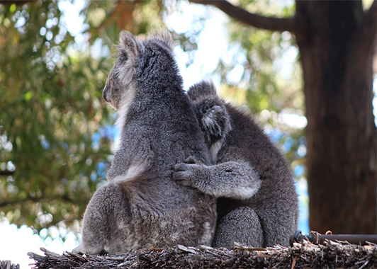 Two koalas sitting side by side in a tree with left sides to camera. One has a protective arm around the other